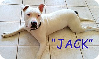 American Bulldog Mix Puppy for adoption in Brandy Station, Virginia - JACK