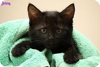 Domestic Shorthair Kitten for adoption in Cedar Rapids, Iowa - Jenny