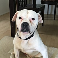 American Bulldog Mix Dog for adoption in calimesa, California - Biff