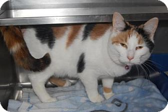 Domestic Shorthair Cat for adoption in South Haven, Michigan - Ally