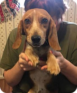 Beagle Mix Dog for adoption in Pottstown, Pennsylvania - Bagel