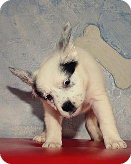 Alaskan Malamute Mix Puppy for adoption in Warner Robins, Georgia - Angel