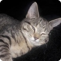 Adopt A Pet :: Little Star - McHenry, IL