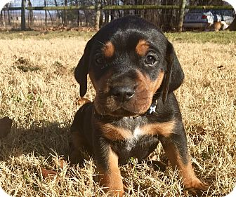 Beagle/Hound (Unknown Type) Mix Puppy for adoption in Norman, Oklahoma - Lil Oz
