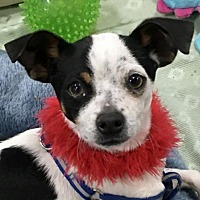Chihuahua Puppy for adoption in Lancaster, California - Fritz