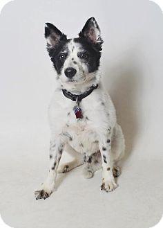 Border Collie/American Eskimo Dog Mix Dog for adoption in Fruit Heights, Utah - Jango