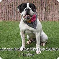 Adopt A Pet :: LECHE - Beverly Hills, CA