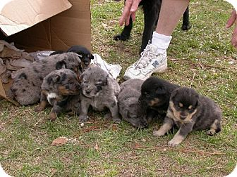 Australian Shepherd Puppy for adoption in Cantonment, Florida - Puppies!