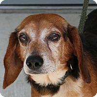 Beagle Mix Dog for adoption in Washington, D.C. - Banjo
