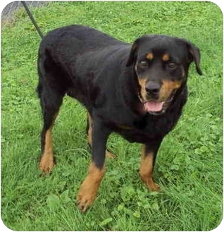 Rottweiler Mix Dog for adoption in Guelph, Ontario - Surprise - URGENT!