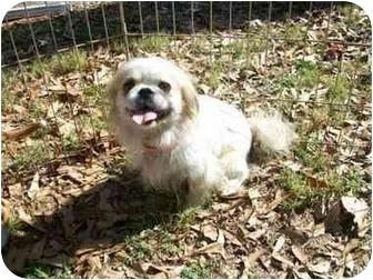 Pekingese/Shih Tzu Mix Dog for adoption in Harvard, Massachusetts - Holly - 10 pounds!