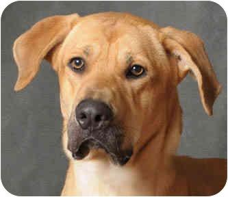 Great Dane/Labrador Retriever Mix Dog for adoption in Chicago, Illinois - Connor