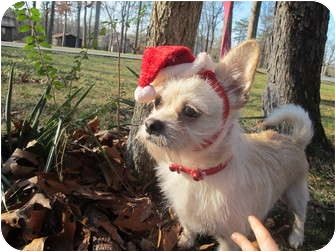 Cairn Terrier/Chihuahua Mix Dog for adoption in Foster, Rhode Island - Skippy