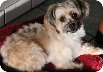 Terrier (Unknown Type, Small)/Yorkie, Yorkshire Terrier Mix Dog for adoption in Yuba City, California - Juliet