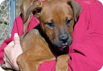 Labrador Retriever/Pug Mix Puppy for adoption in berwick, Maine - Capone
