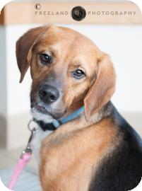 Beagle Mix Dog for adoption in Jackson, Michigan - Samson