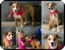 Boxer Mix Dog for adoption in Lebanon, Connecticut - Kayla
