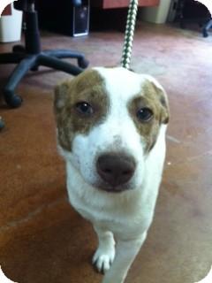 Labrador Retriever Mix Dog for adoption in East Hartford, Connecticut - Candy