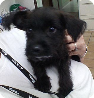 Terrier (Unknown Type, Small) Mix Puppy for adoption in Thousand Palms, California - Ollie