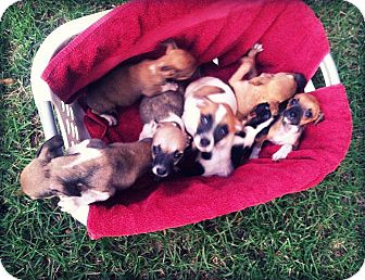 Chihuahua Mix Puppy for adoption in Groveland, Florida - Chihuahua mix puppies (10 wks)