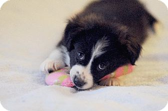 Border Collie/Australian Shepherd Mix Puppy for adoption in Chattanooga, Tennessee - Jack