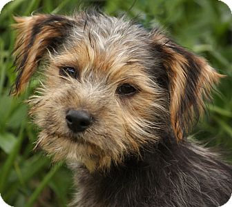 Yorkie, Yorkshire Terrier/Terrier (Unknown Type, Medium) Mix Puppy for adoption in Thousand Oaks, California - Monty