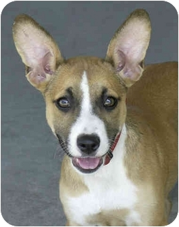 Corgi/Jack Russell Terrier Mix Puppy for adoption in Marina del Rey, California - Wendy