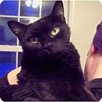 Domestic Shorthair Cat for adoption in East Stroudsburg, Pennsylvania - Missy