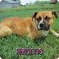 Adopt A Pet :: Shirlene - Poughkeepsie, NY