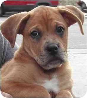 Australian Shepherd/Bullmastiff Mix Puppy for adoption in El Segundo, California - Parker