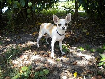 Chihuahua Dog for adoption in Fort Lauderdale, Florida - Cola