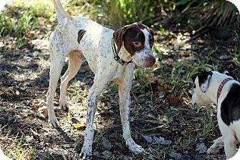 English Pointer Dog for adoption in New Smyrna beach, Florida - Brazil