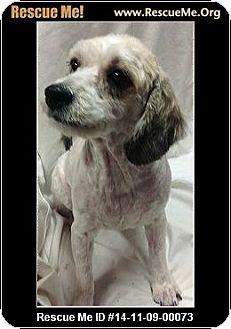 Cocker Spaniel Mix Dog for adoption in Phoenix, Arizona - Punky