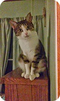 Domestic Shorthair Cat for adoption in St. Louis, Missouri - Cassiopeia