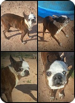Boston Terrier Dog for adoption in Alamogordo, New Mexico - Reggie