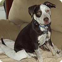 Adopt A Pet :: Chuck - Phoenix, AZ