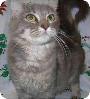 Domestic Shorthair Cat for adoption in Brenham, Texas - Penny