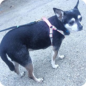 Chihuahua Mix Dog for adoption in Los Angeles, California - LUCKY