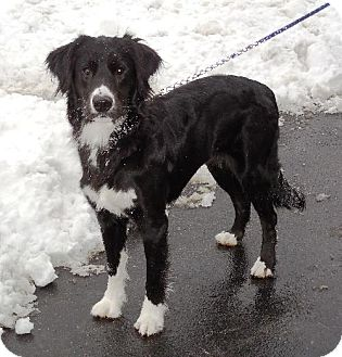 Border Collie Mix Dog for adoption in Buffalo, New York - Zoey