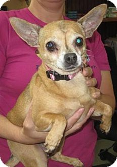 Chihuahua Dog for adoption in Dover, Tennessee - Shorty