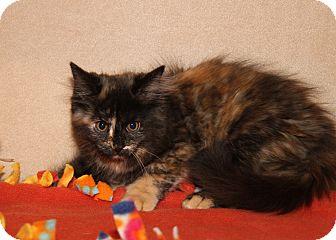Domestic Mediumhair Kitten for adoption in Marietta, Ohio - Cagney (Spayed)