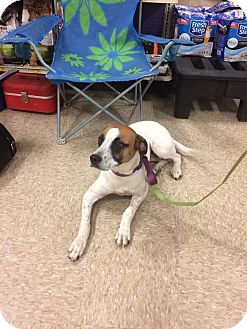 Boxer Mix Dog for adoption in Hohenwald, Tennessee - Georgia