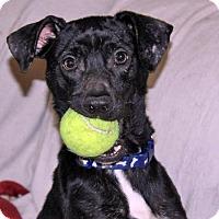 Dachshund Mix Puppy for adoption in kennebunkport, Maine - Levi - in Maine