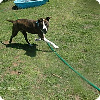 Boxer Mix Dog for adoption in KELLYVILLE, Oklahoma - BRIELEE