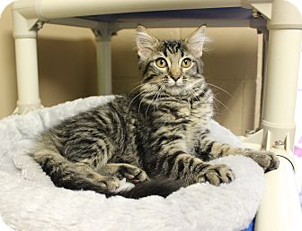 Domestic Mediumhair Kitten for adoption in Germantown, Tennessee - Moondust