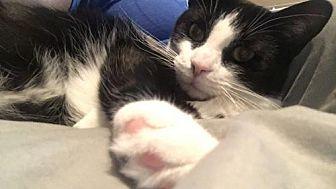 Domestic Shorthair Cat for adoption in Cincinnati, Ohio - Minny