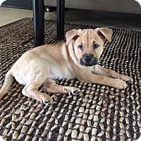 Adopt A Pet :: Honey - Ft. Myers, FL
