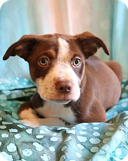 Labrador Retriever/Australian Shepherd Mix Puppy for adoption in Allentown, Pennsylvania - Simms