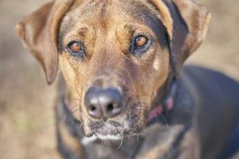 Coonhound Mix Dog for adoption in Ravenel, South Carolina - Dixie