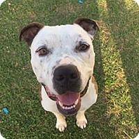 Adopt A Pet :: Odin - Phoenix, AZ